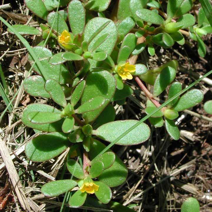 ierburi uitate - Portulaca oleracea sau iarba grasa