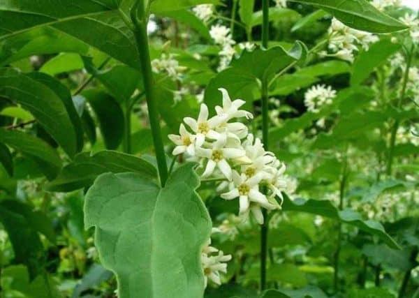 iarba fiarelor sau vincetoxicum hiruindinaria sau iarba fiarelor