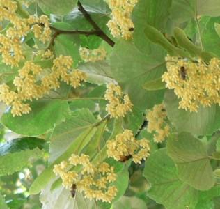 În cosmetică florile de tei calmează tenurile şi îndepărtează cearcănele