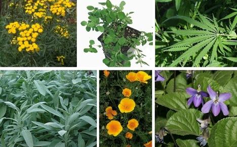plante medicinale folosite în dermatologie si cosmetica
