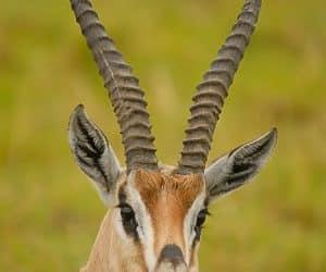 totem antilopa