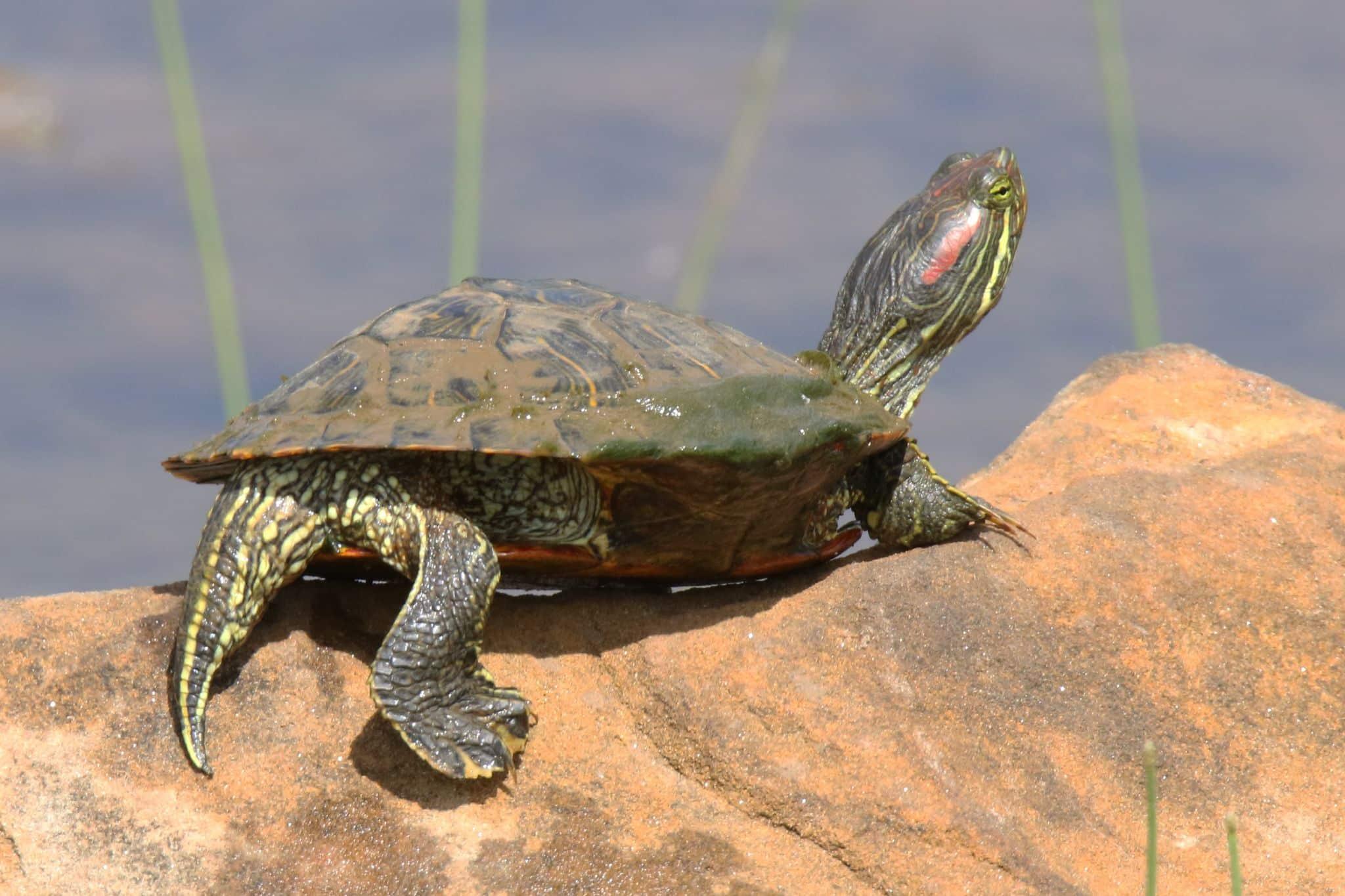 Imaginea thumbnail despre Broasca testoasa: Cresterea testoaselor de Florida sau cu tamplele rosii
