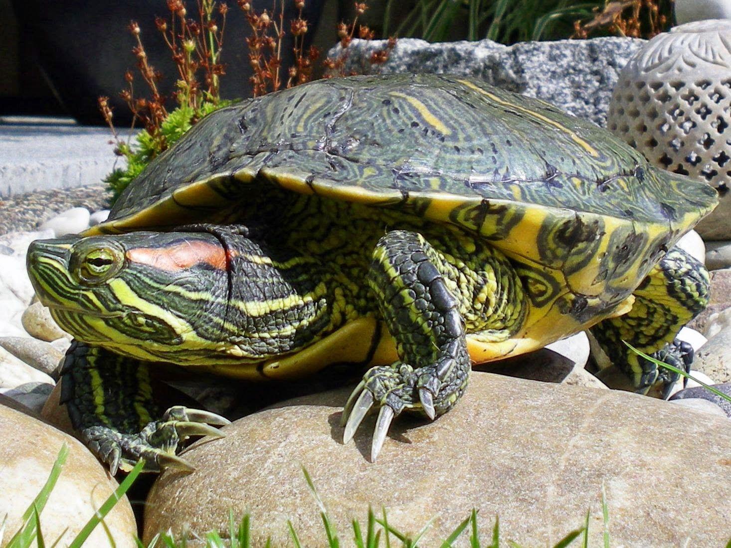 Top 10 curiozităţi despre broasca ţestoasă