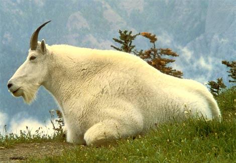 capra simbol al fertilitatii