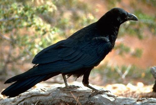 corbul generalitati si simbolistica