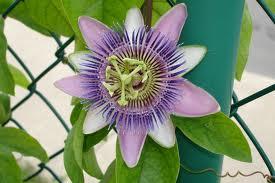 floarea pasiunii cresterea sanilor