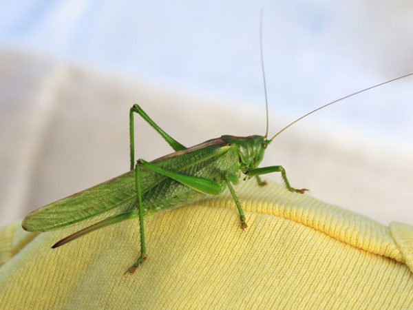 Lăcustele în mituri si legente - simbolistica insectelor 1