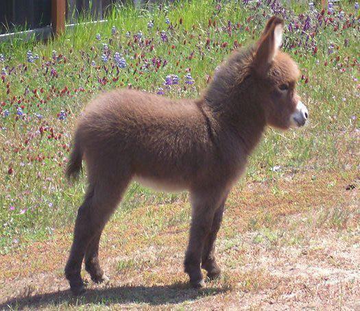 Imaginea thumbnail despre Magarul – animalul săracilor, afectuos si bun de paza