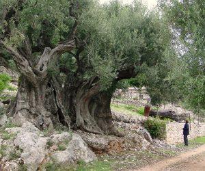 maslinul sacru de 1500 de ani