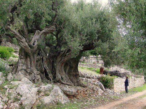 maslin-sacru-de-1500-de-ani