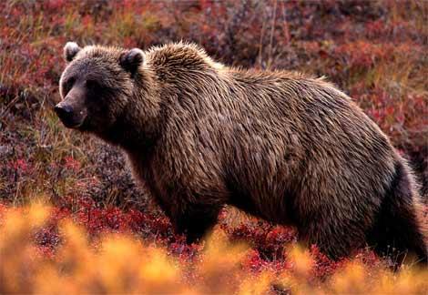 mituri despre urs