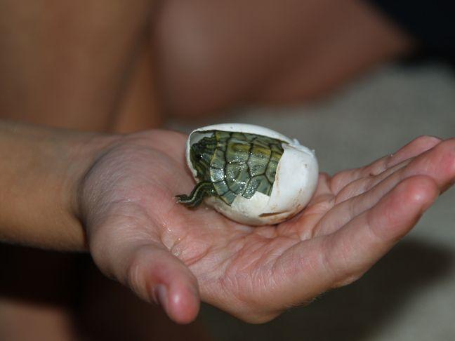 când broasca țestoasă pierde în greutate
