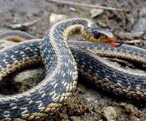 Imaginea thumbnail despre Sarpele ~ rituri şi superstitii la romani, informatii despre serpi