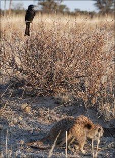 pasarea drongo si suricatele