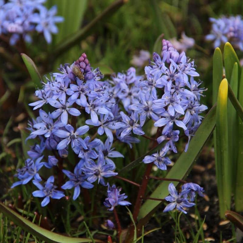 Flori albastre de viorea