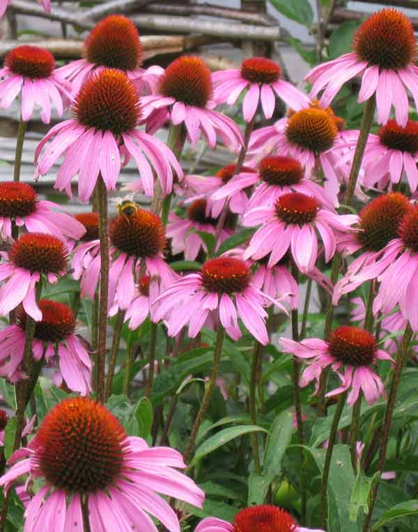 echinacea - planta pentru sistemul imunitar