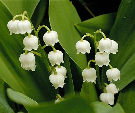 Lacramioarele plante medicinale - legenda lacramioarei