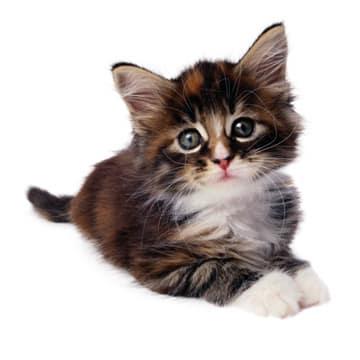 pisica-din-vis