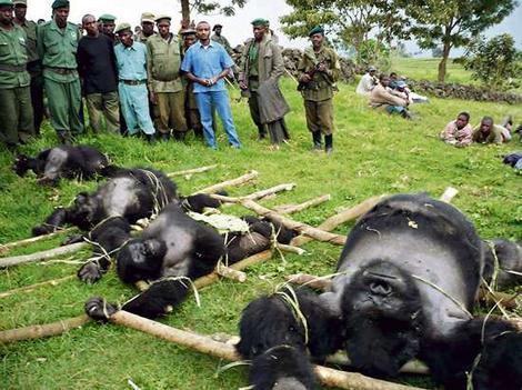 gorile capturate de oameni