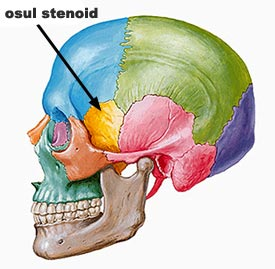 evolutia craniului osul-stenoid
