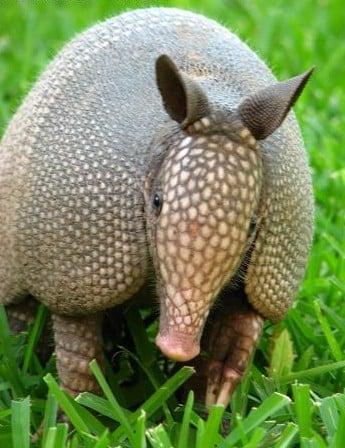 Armadillo, un dinozaur în miniatură 1