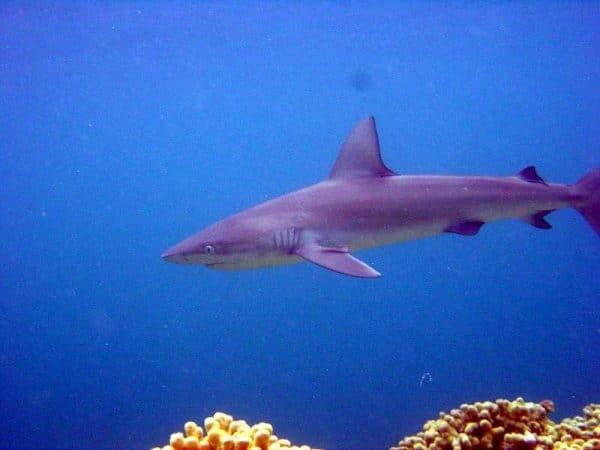 rechinul Galapagos