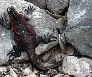 iguana-galapagos