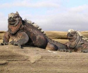iguana-gigant-galapagos