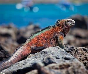 iguana-marina-galapagos