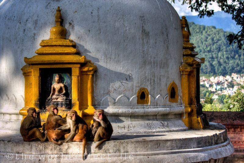Imaginea thumbnail despre Maimuțele de templu din Nepal sunt considerate sacre si ocrotite