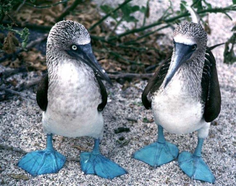 pasari-cu-picioare-albastre-galapagos