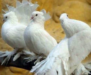 imagini cu porumbei albi pentru nunta