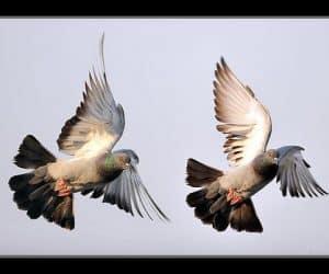 Busola porumbei voiajori - simţul mirosului! 1