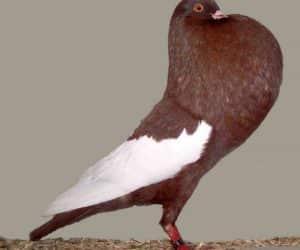 Busola porumbei voiajori - simţul mirosului! 2