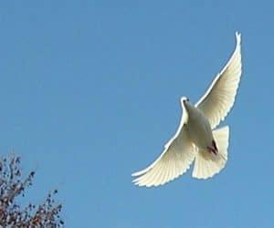 Busola porumbei voiajori - simţul mirosului! 5