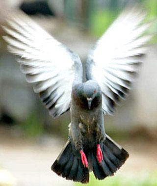 poze porumbei voiajori