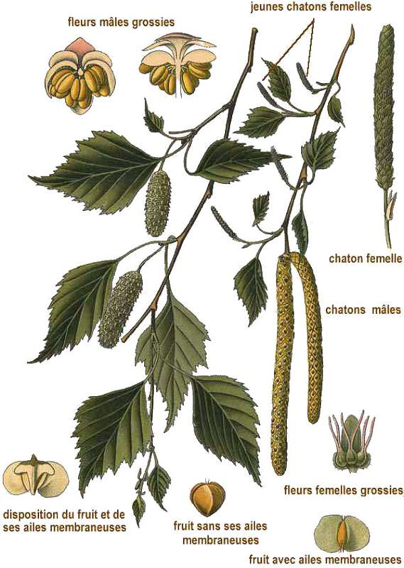 mesteacanul Betula-alba