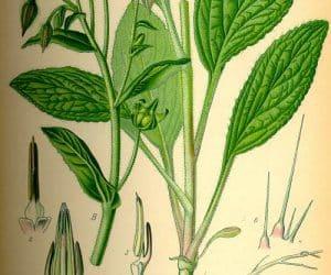 Limba mielului - planta cu DZA de minerale si vitamine 1