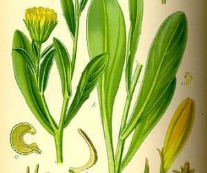 Cum se extrage uleiul esential de galbenele? 1