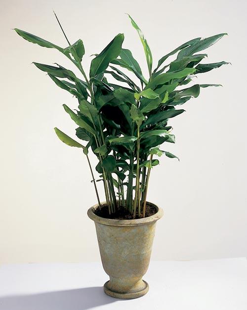 Elettaria-cardamomum