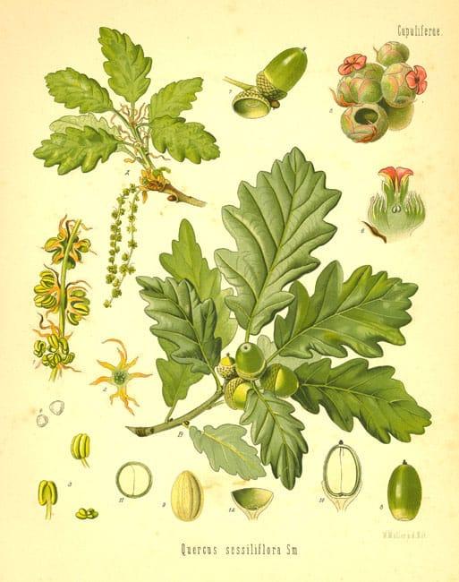 stejarul - Fagaceae - Quercus robur