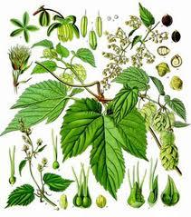 Hameiul - planta medicinala folosita si in alimentatie 2