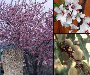 Migdal-Prunus-dulcis