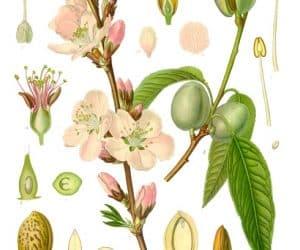 Migdale-Prunus-dulcis