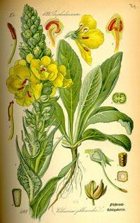 Verbascum thapsus sau lumanarica - planta medicinala