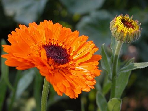 calendula officinalis galbenele