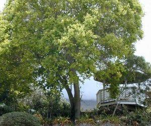 camforul-Cinnamomum-camphora
