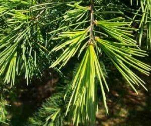 Imaginea thumbnail despre Lemnul de cedru pentru purificare, sănătate și vindecare