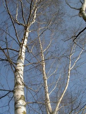 copac-mesteacan-Betula-alba
