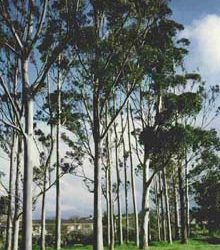 copaci-eucalipt